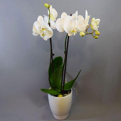 Cvjećarnica Fani _Phalaenopsis orhideja_bijela