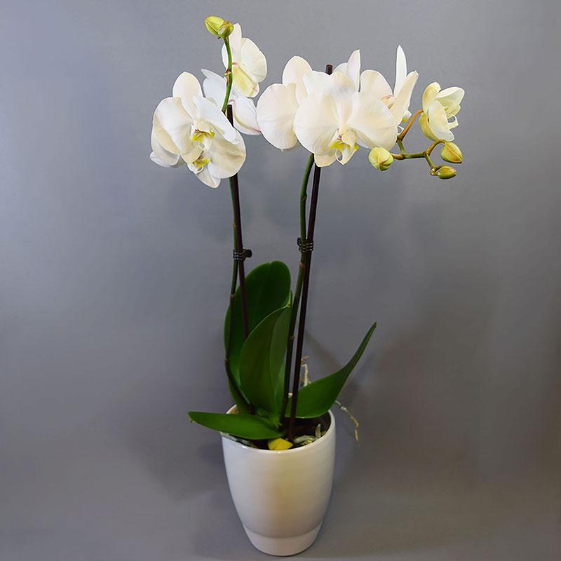 Slikovni rezultat za phalaenopsis orhideja