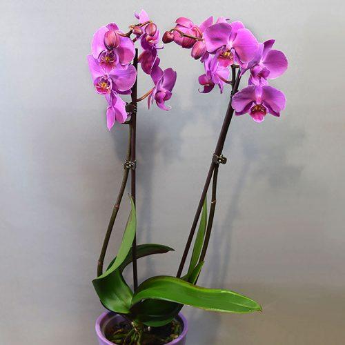 Cvjećarnica Fani _Phalaenopsis orhideja_ljubičasta_