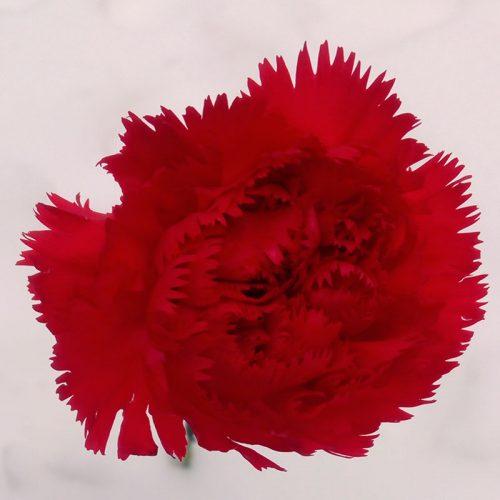 Cvjećarnica-Fani_Crveni-karanfil